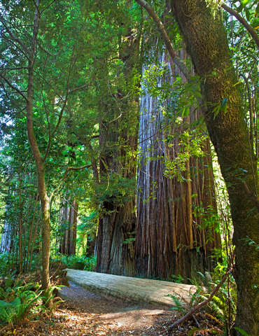 environmental group tries to clone redwoods to stop global warming